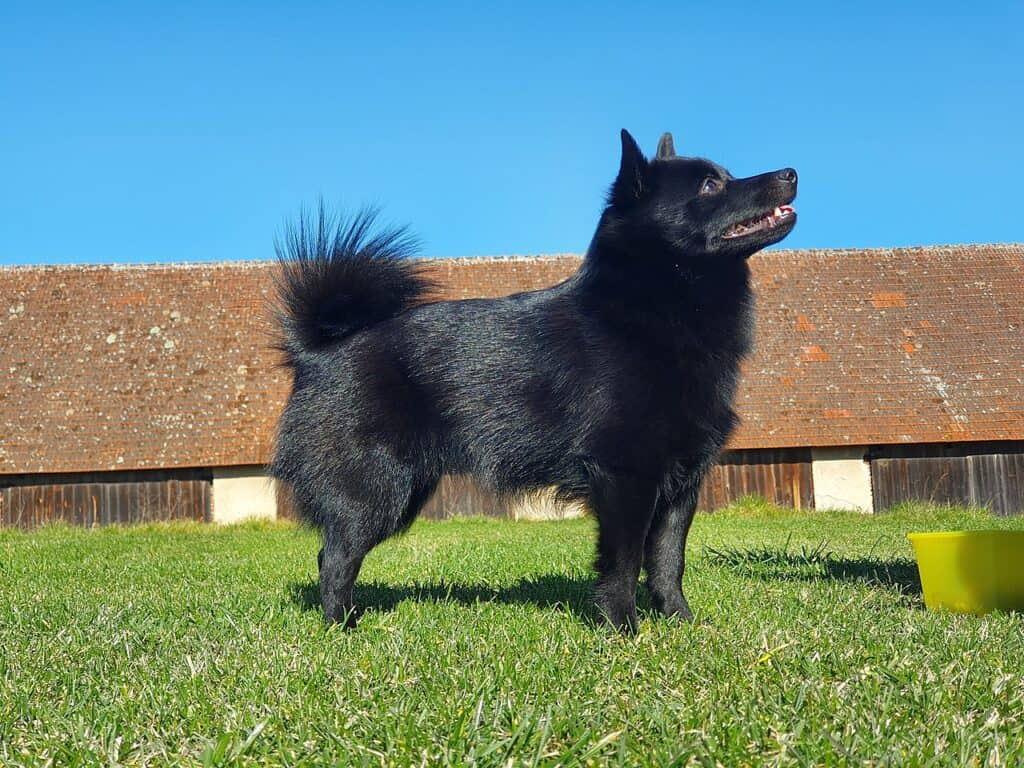 schpperke - dog with curly tail