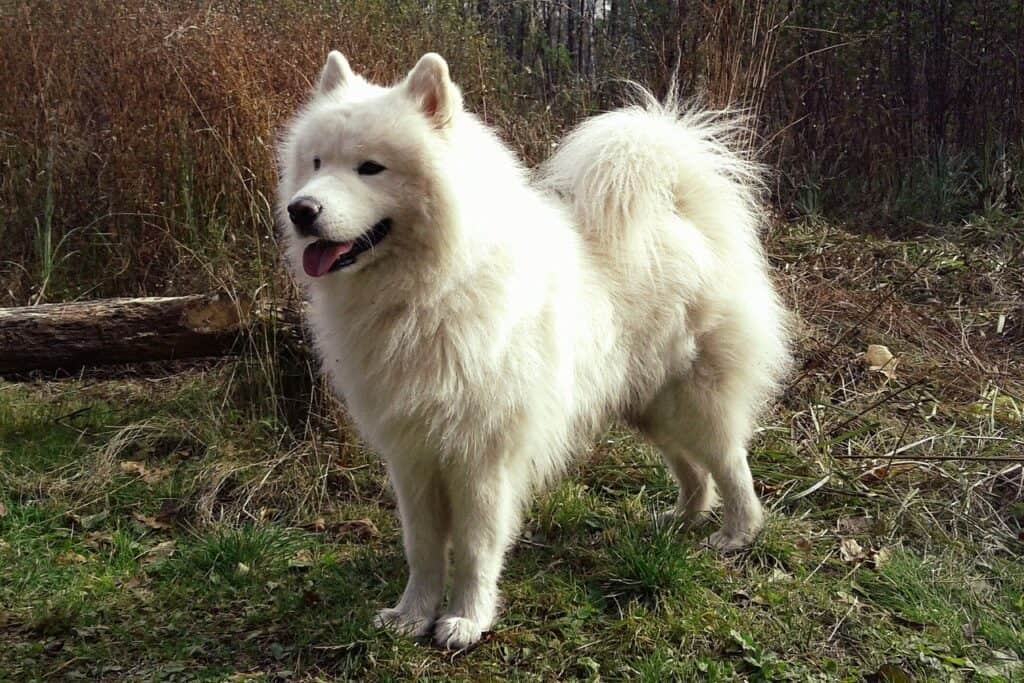 samoyed  - dog with curly tail