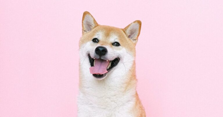 why do shibas smile