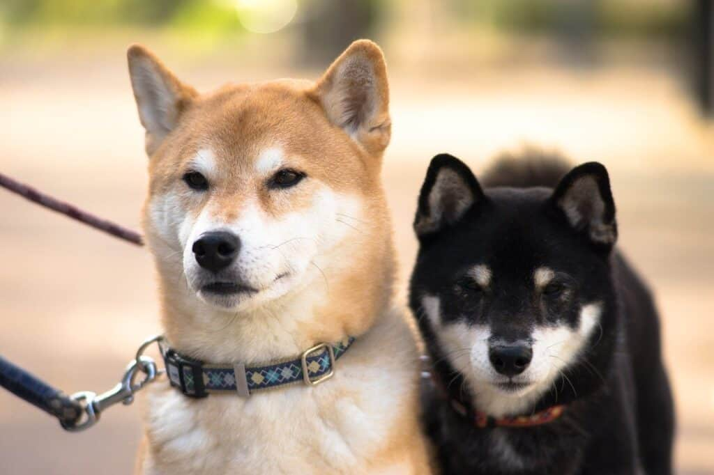 black and tan puppy with red adult shiba